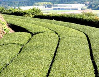 Kagoshima champs de thé