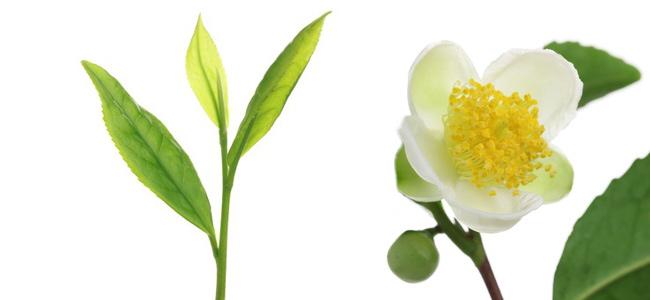 Théier – Camellia Sinensis