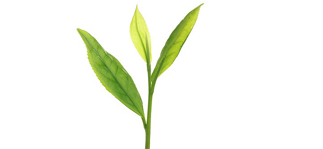 Thé vert : Cancer