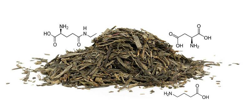 Acides Aminés et L-Théanine dans le thé vert et le thé blanc