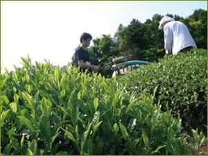 Plantation de the vert