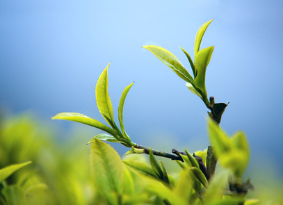 Carence en Fer et Thé vert