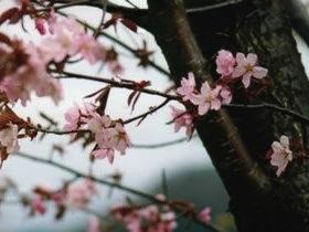 cerisier-sauvage-sakura-beni