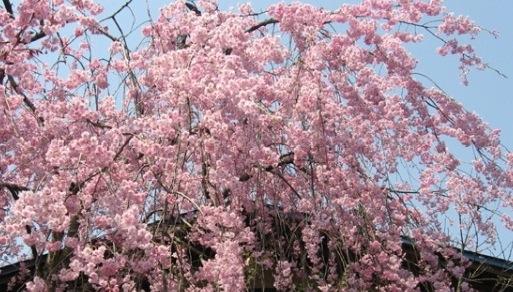 fleurs-cerisier-kakunodate