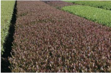 sunrouge-tea-field