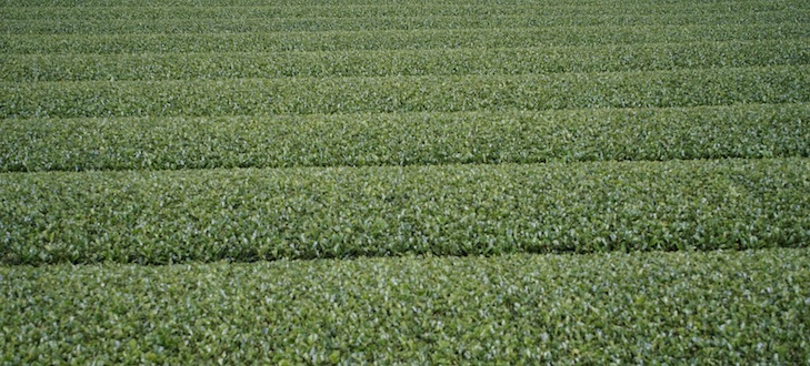 """Champs de thé vert """"droits comme de i"""" à Kagoshima"""