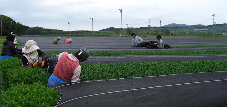 Ombrage du Sencha à Kagoshima quelques heures avant la récoltes