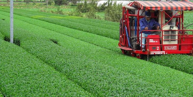Récolte mécanique de thé vert