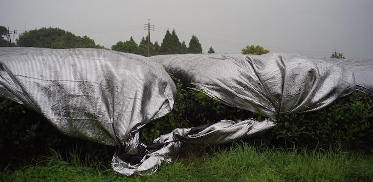 Champs de Tencha à Kagoshima sous une légère pluie de printemps