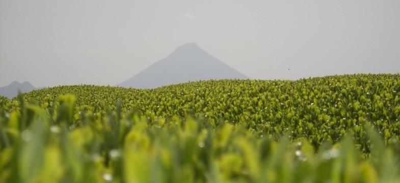 Thé vert de Kagoshima