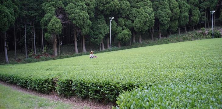 Champs de thé magnifique à l'orée d'une foret au Nord de Kirishima.