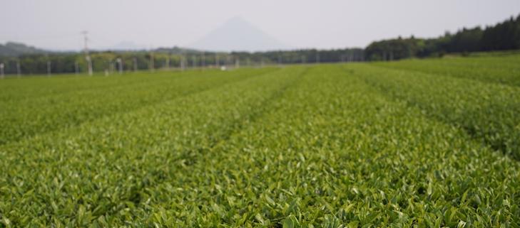 Champs plat et très productif du Sud de Chiran, à l'arrière plan le Mt. Sakurajima