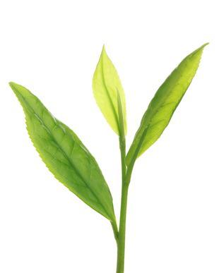 Thé vert Jeune pousse
