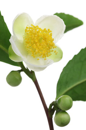 Fleur-Camellia-Sinensis
