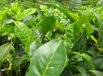 Feuilles de Camellia Sinensis